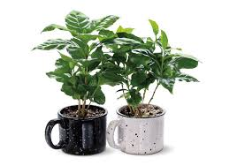 Start by planting the coffee bean in slightly acidic soil, with high nitrogen content. Aldi Is Featuring Coffee Plants They Even Come In Mugs
