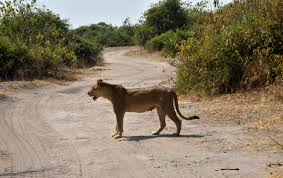 lioness with cubs cross the road