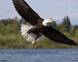 Small Picture Bald Eagle Facts for Kids North American Birds