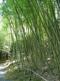 Small Picture 31 best Bamboo images on Pinterest Bamboo garden Gardens and Plants