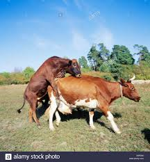 bulls and cows mating. Plain Bulls Cow And Bull Mating Intended Bulls And Cows Mating T