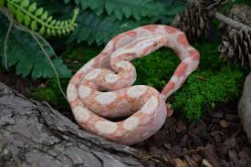 albino imperatormorphs