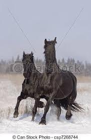 black horses in snow. Wonderful Horses Black Horses  Csp7268744 On Black Horses In Snow E