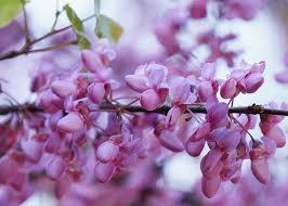 Come riconoscere 6 alberi da frutto dai loro fiori. Albero Di Giuda Significato Linguaggio E Simbologia Dell Albero Di Giuda