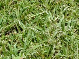 carpet grass seed. carpetgrass seed - 50 lb. bag (coated) carpet grass .