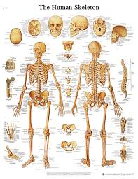 Laminated Anatomy Charts Anatomical Chart Human Skeleton Laminated