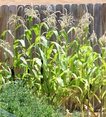 corn gardening tips and tricks from thefrugalgirls com