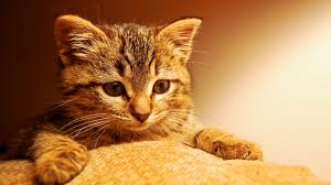 Kitten Desktop Wallpaper #7007511