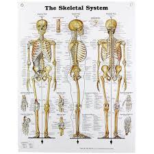 Human Bone Chart Human Skeletal System Chart