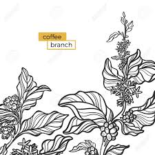 Branch Template Template Of Black Branch Of Coffee Tree With Leaves And Natural
