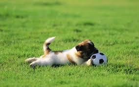 cute dog football full screen high definition wallpaper photo free lovely s pets curr 1680 1050 wallpaper hd
