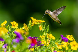 Bulletin 7152 Understanding Ruby Throated Hummingbirds And