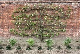 Edible Landscaping  How To Espalier An Apple Tree  GardenorgGrowing Cordon Fruit Trees