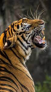 Angry animals, Animals wild, Tiger ...