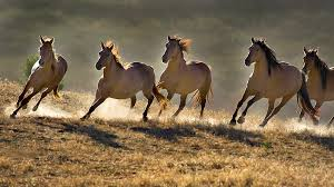 wild horses mustang running. Perfect Mustang The Slaughter Prohibition Discourages Horse Ownership Wild  Population Explosion Has Caused  On Wild Horses Mustang Running