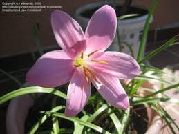 zephyranthes candida also called the u0027brazilian crocusu0027 has smaller white flowers and blooms at end of summer early fall that look like lilies i12