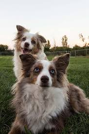 Toy Australian Shepherd Size Chart Miniature American Shepherd Dog Breed Information