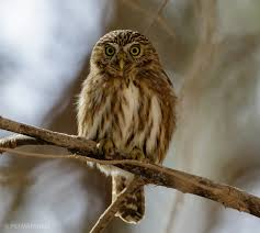 Peruvian Pygmy Owl Introduction Neotropical Birds Online