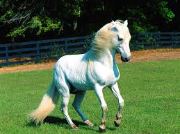 baby white horse.  Baby Horses Images White Horse  HD Wallpaper And Background Photos And Baby A