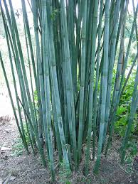 Blue Bamboo (Bambusa chungii)