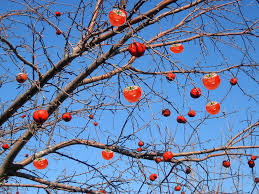 Propagation Of Fruit Bearing Trees By AirLayering 11 Steps With Tree Bearing Fruit