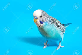 Sky Blue Wavy Parrot With Plastic Toy Skateboard On Color Background Stock  Photo, Picture And Royalty Free Image. Image 98602076.