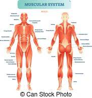 Muscle Diagram German Text Male Body Muscle Chart German