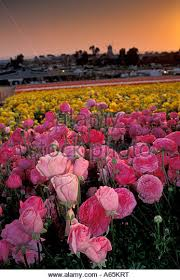 flower field sunset. Rows Of Colored Flowers Bloom In Spring At The Carlsbad Flower Fields San Diego County Field Sunset