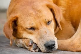 brain injury in dogs