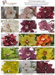 Cymbidium Varieties Orchid Varieties Cymbidium Orchids