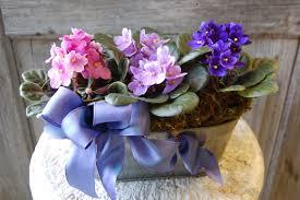 african violet tin 39 99