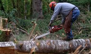 În timp ce România este în izolare, o pădure întreagă a fost tăiată de mafia lemnului. Unde se întâmplă prăpădul - IMPACT