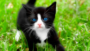 black and white kittens with blue eyes for sale. Blue Eyed Black Kitten Throughout And White Kittens With Eyes For Sale