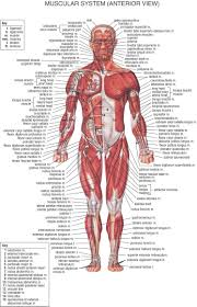 Diagram Of Human Muscle System – citybeauty.info