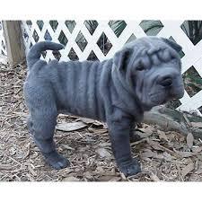 mini shar pei puppy black s shar pei dog and