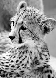 baby white cheetah. Fine Baby Baby Cheetah Intended White