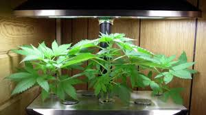 aerogarden weed harvest. aerogarden weed harvest m