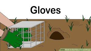 getting rid of groundhogs mothballs.  Groundhogs Image Titled Get Rid Of Groundhogs Step 2 Throughout Getting Of Mothballs