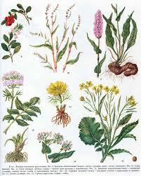 Лекарственные растения и травы картинки с названиями описание и  лекарственные растения Лекарственные растения фото
