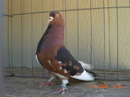 Roller Pigeon Color Chart Genetics