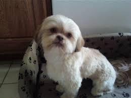 Cute White Shih Tzu Dog Puppies Picture ...
