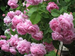 garden roses. Garden Roses. \u201c Roses