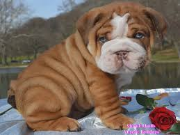 shrinkabulls chocolate english bulldog puppies english bulldog puppies for in az