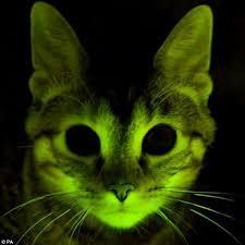 glow in the dark lighting. Way To Glow: The Eerie Looking Feline That Has Been Genetically Modified  With DNA From Glow In The Dark Lighting