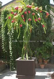Red Dragon Fruit On Plant Stock Photo 453220141  ShutterstockDragon Fruit On Tree