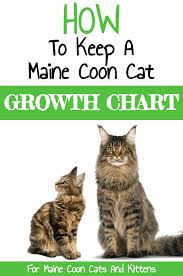 Kitten Size Chart How To Keep A Maine Coon Growth Chart Maine Coon Guide