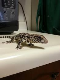 Tegu Care Facts Tegus From Around The World