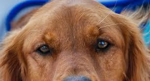 red golden retriever. Wonderful Red Red Golden Retriever With Red Golden Retriever The Happy Puppy Site