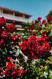 Roses of Bulgaria, flowers, flora ...