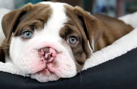 we have super cute english bulldog puppies ready now we can ship the puppy to you or you can e and visit our boutique we have diffe engligh bulldog
